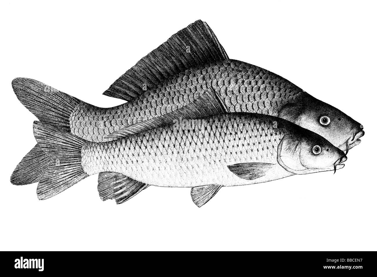 Common Carp, European Carp (Cyprinus carpio), cultivated form (rear) and wild form (front) - Stock Image