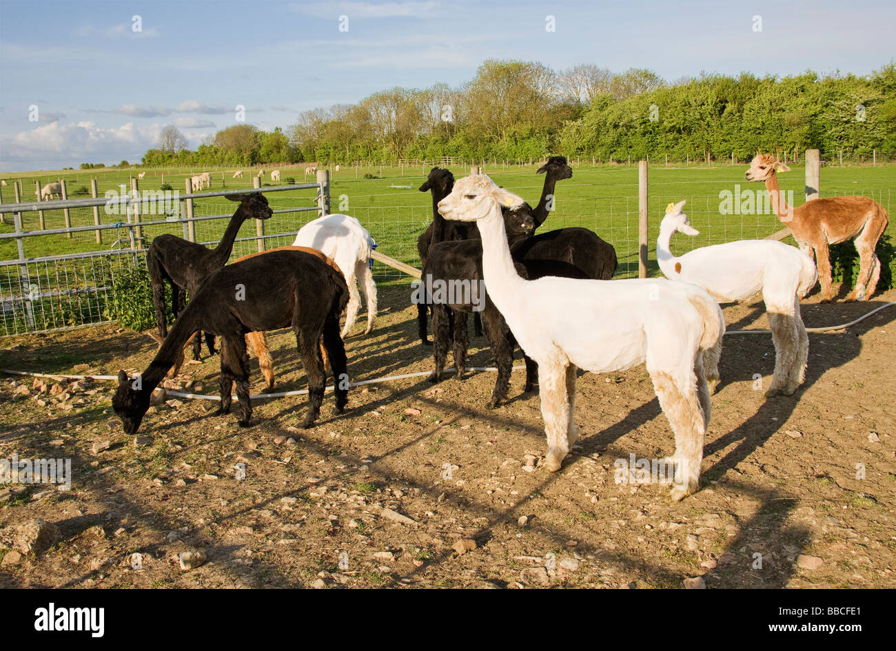 Alpacas, Lama pacos, standing in paddock after being shorn. - Stock Image