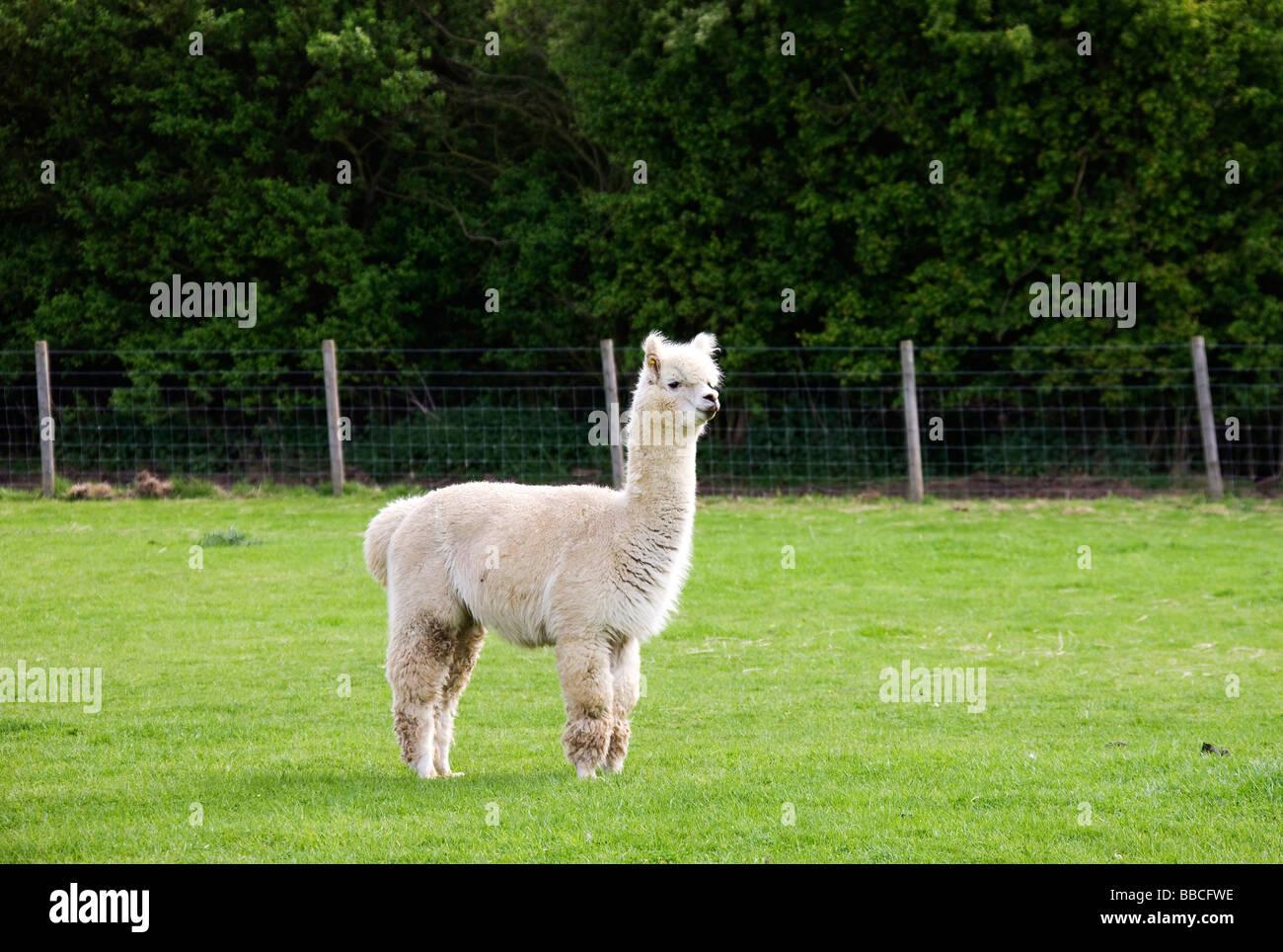 An Alpaca, Lama pacos,standing in paddock. - Stock Image