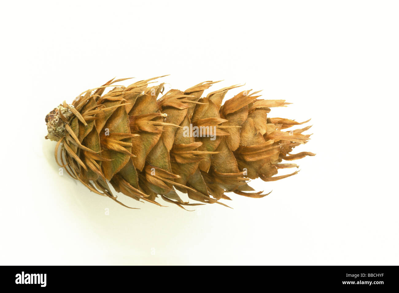 Douglas Fir (Pseudotsuga menziesii, Pseudotsuga douglasii), cone, studio picture - Stock Image