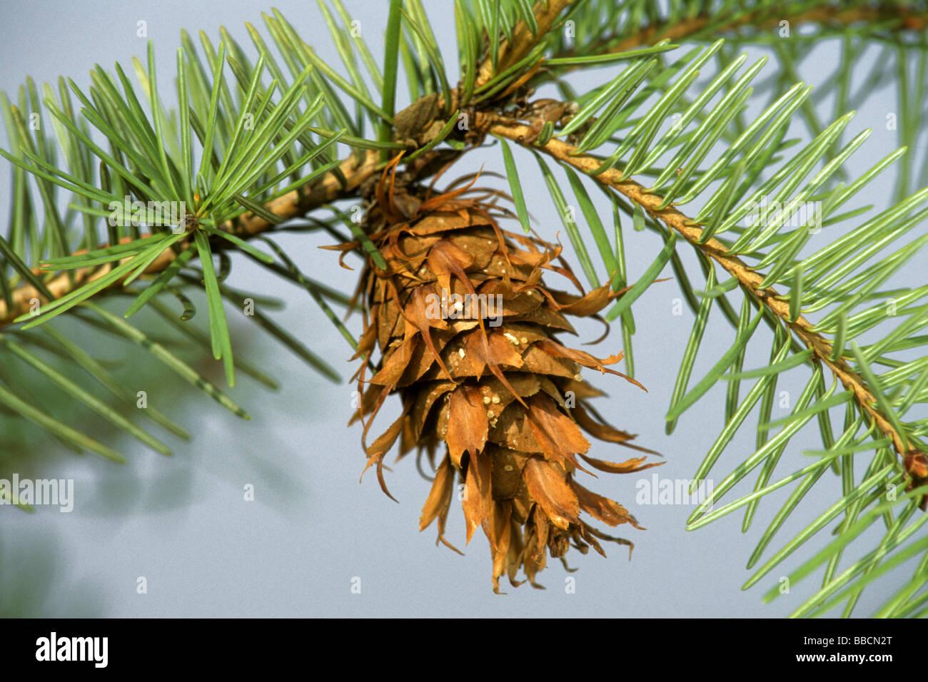 Douglas Fir (Pseudotsuga menziesii, Pseudotsuga douglasii), cone on a twig - Stock Image
