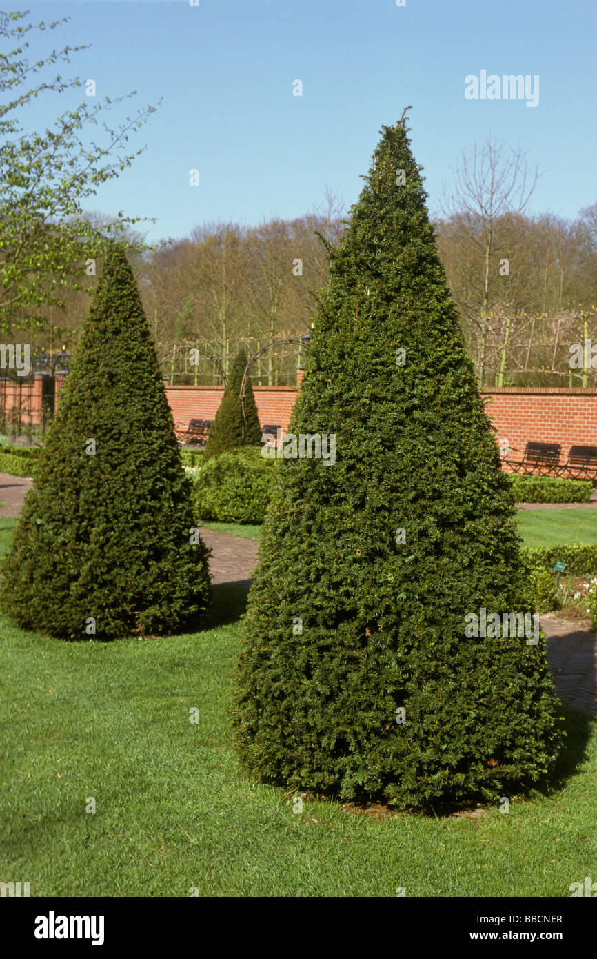 Common Box, Boxwood (Buxus sempervirens), trimmed to cone shape - Stock Image