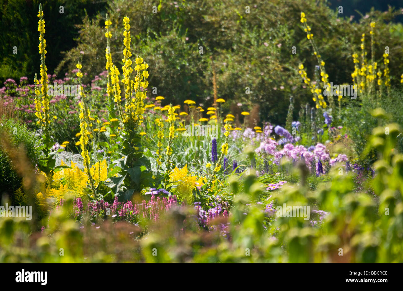 Herbaceous Perennial Border Of Tall Yellow Spikes Of Verbascum