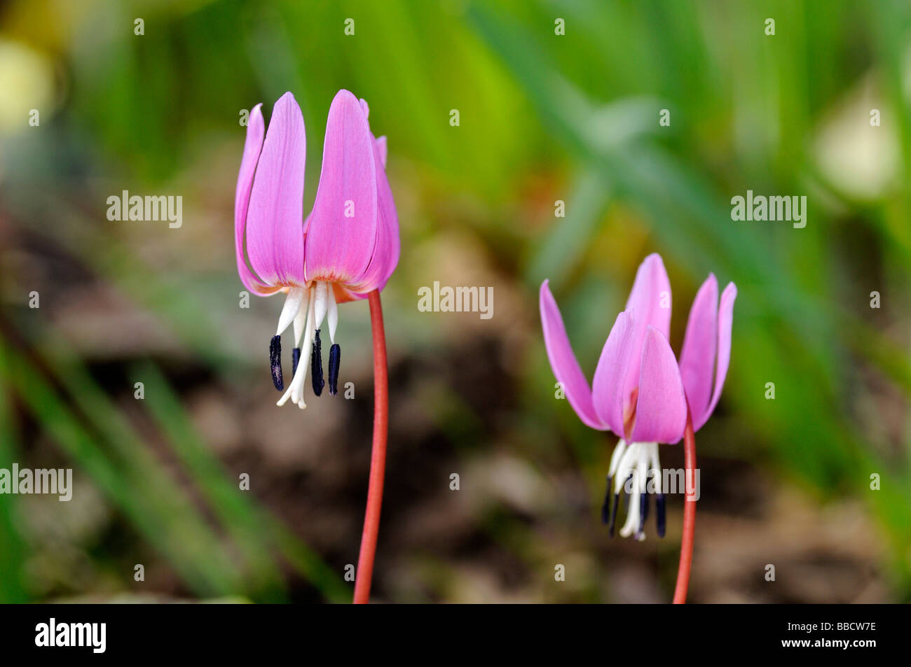 Flowering Dog s tooth violet Dogtooth violet Erythronium dens canis - Stock Image