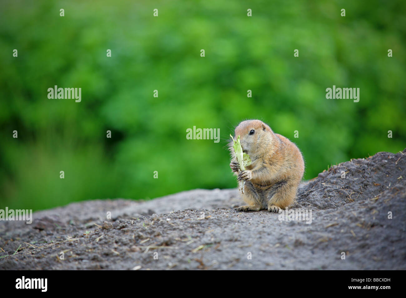 Prairie dog chewing food - Stock Image