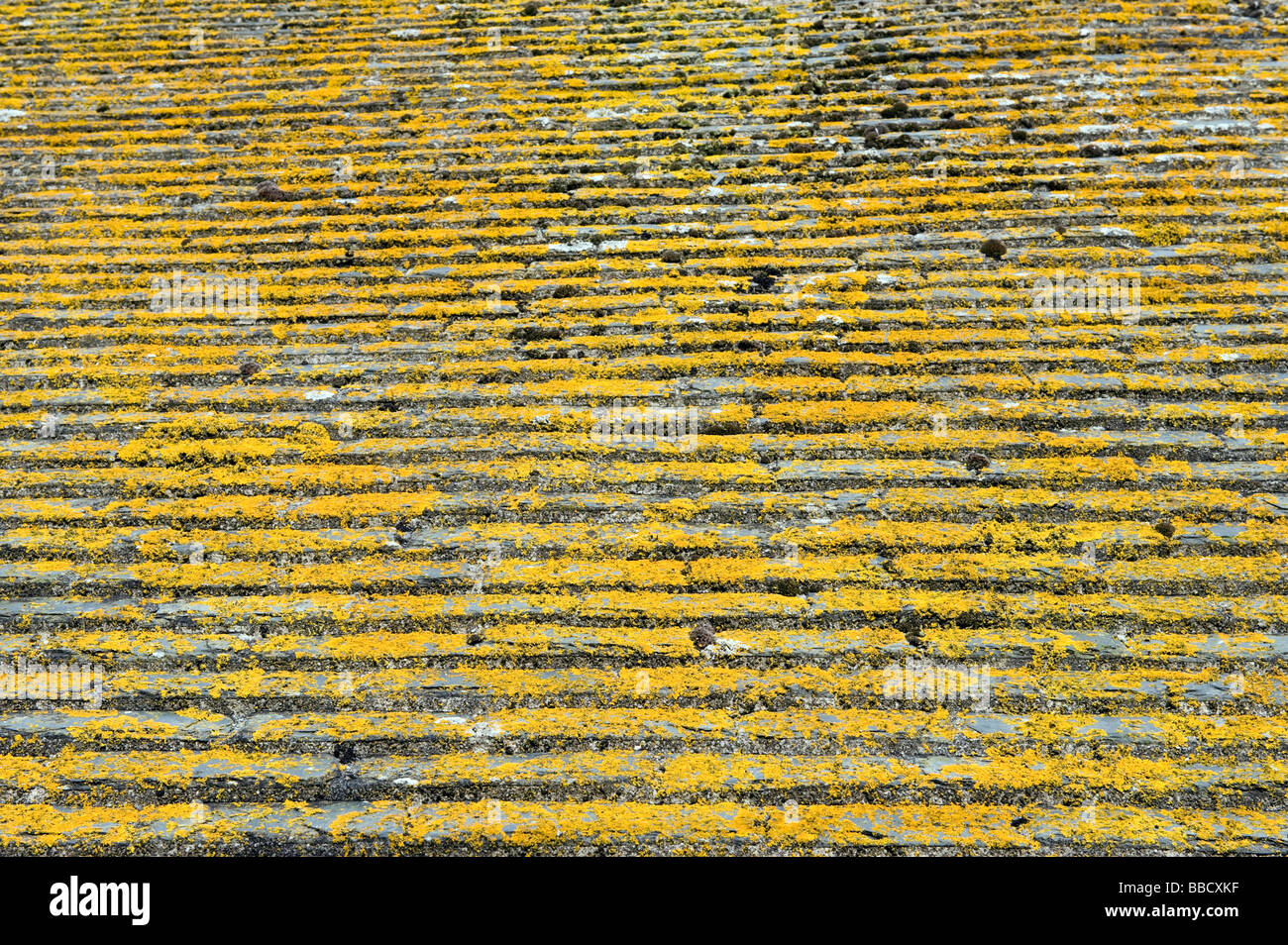 Yellow algae on roof tiles - Stock Image