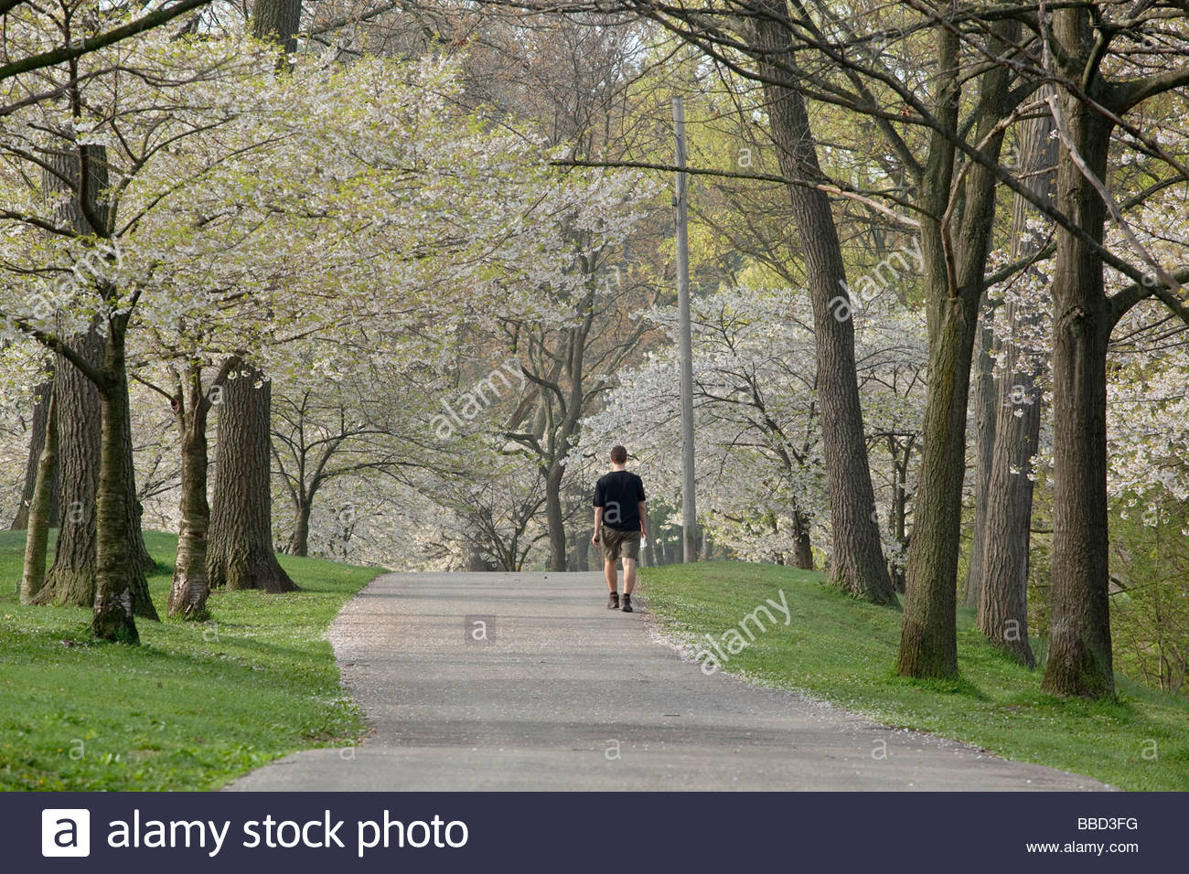 Walking through japanese cherry blossoms in springtime in High Park in Toronto Ontario Canada - Stock Image