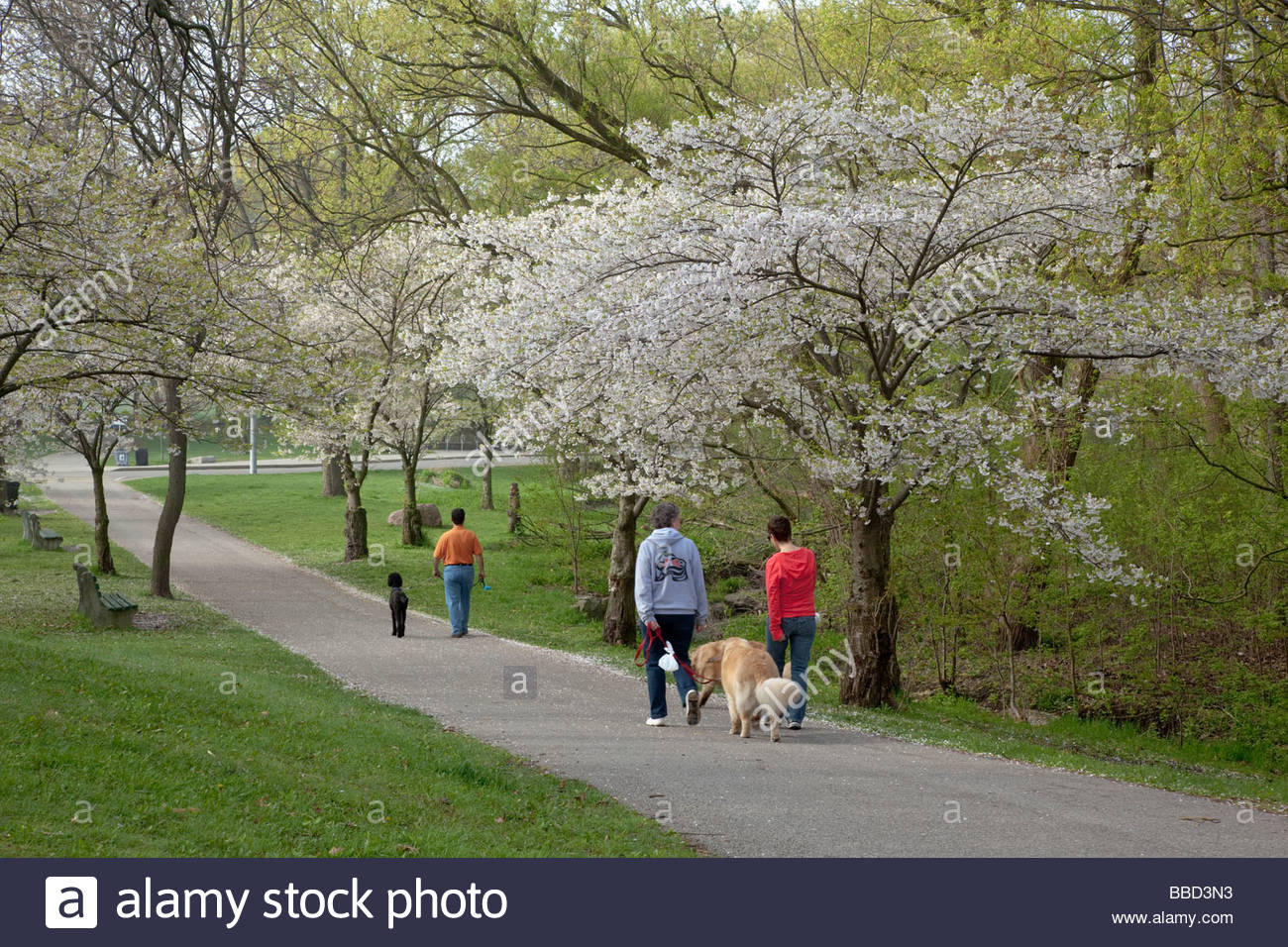 Walking the dog through Japanese cherry blossoms in springtime in High Park in Toronto Ontario Canada - Stock Image