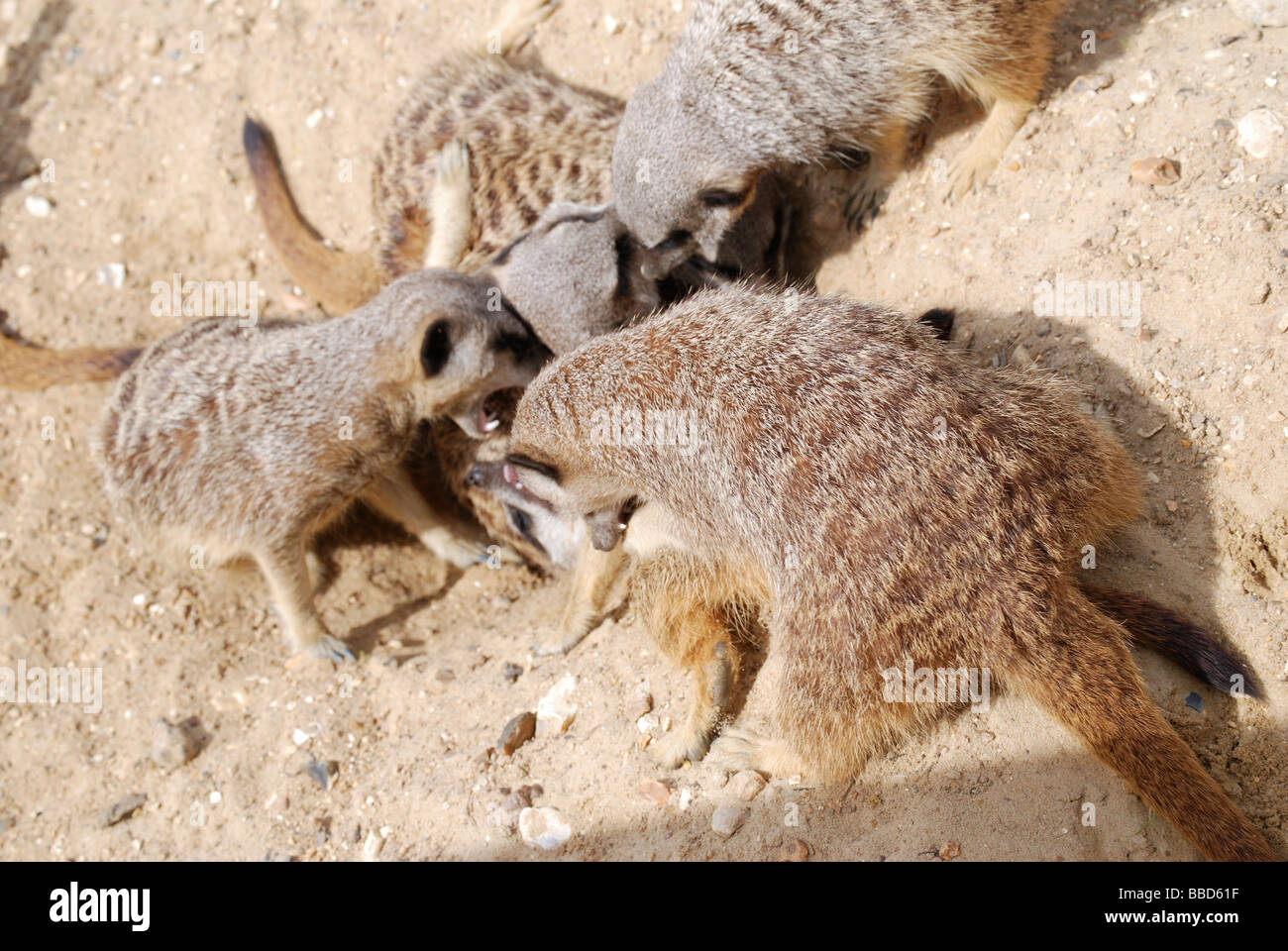Meerkats fighting to establish dominance within the mob - Stock Image