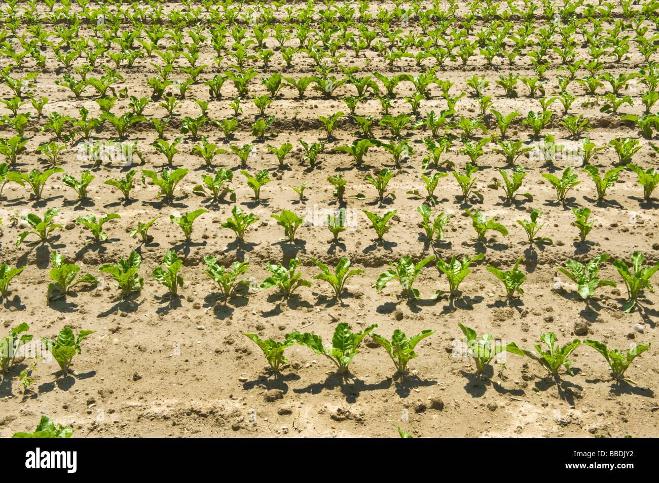sugarbeet sugar beet row fertile prolific field crop order ordering in-line line farmer farm farming grow growing - Stock Image