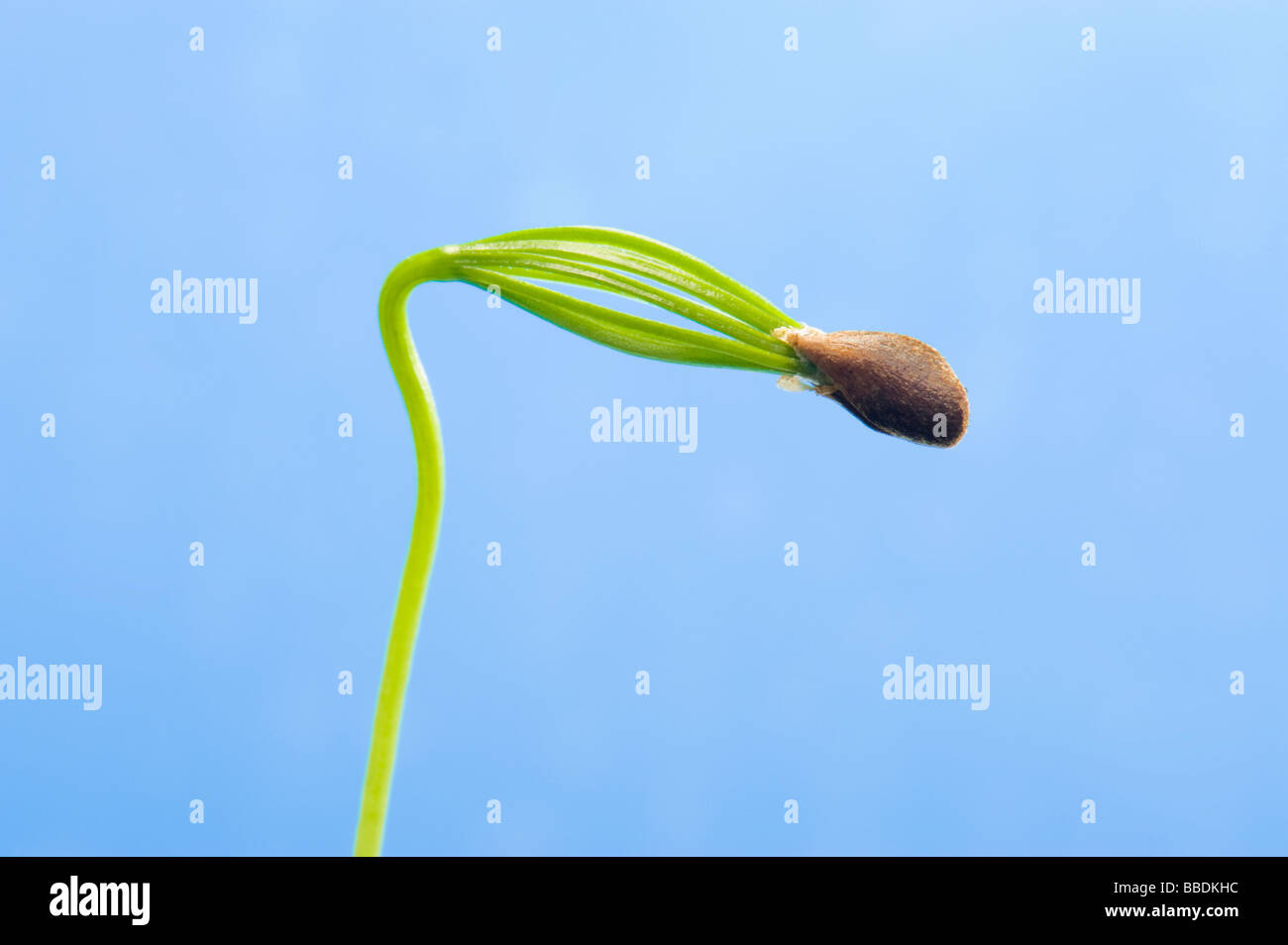 conifer seed tree unfold unfolding  cotyledon seed leaf germ germinate germination  sperm propagation green new - Stock Image