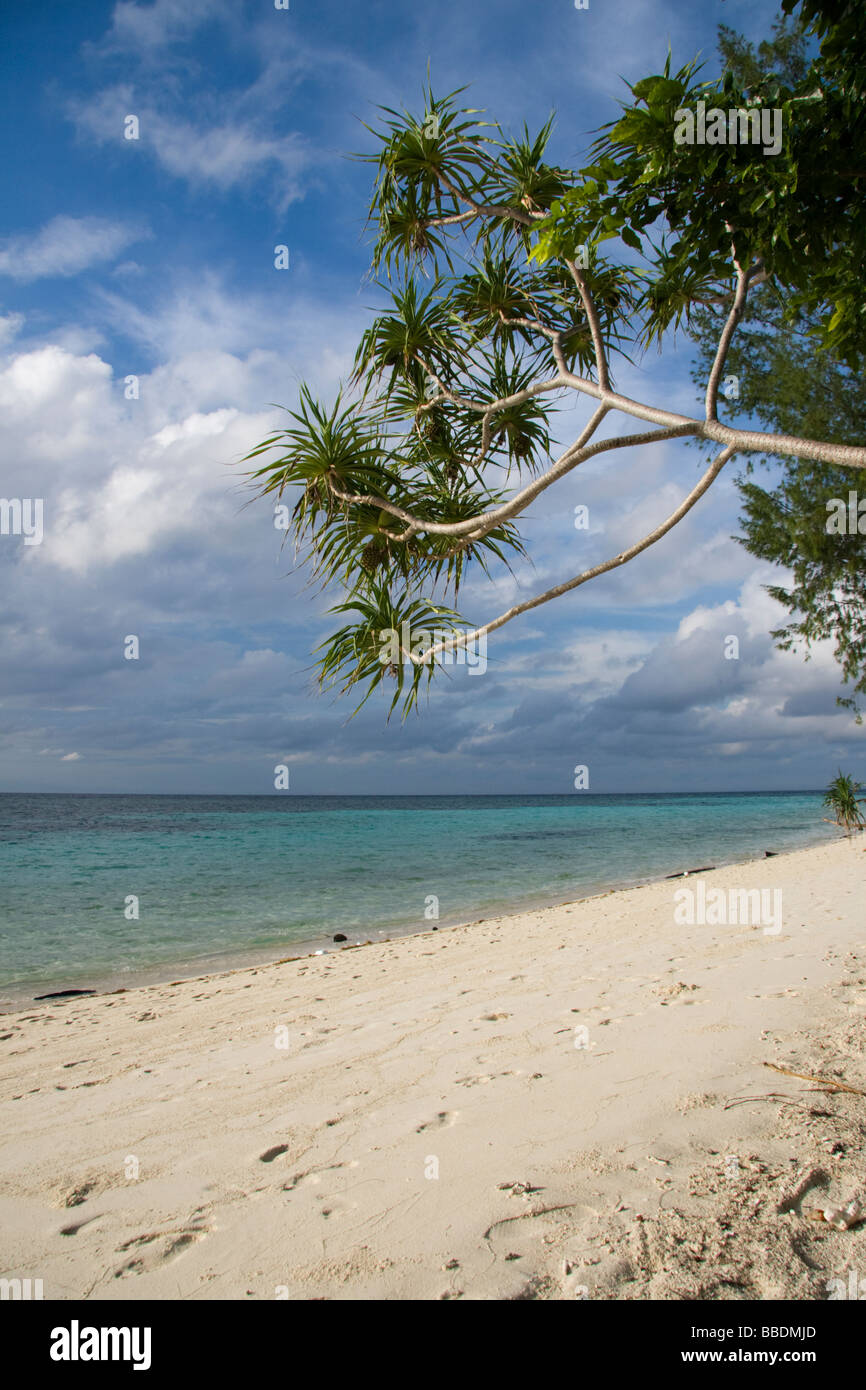 Palm tree on the tropical island of Lankayan, Malaysian Borneo - Stock Image