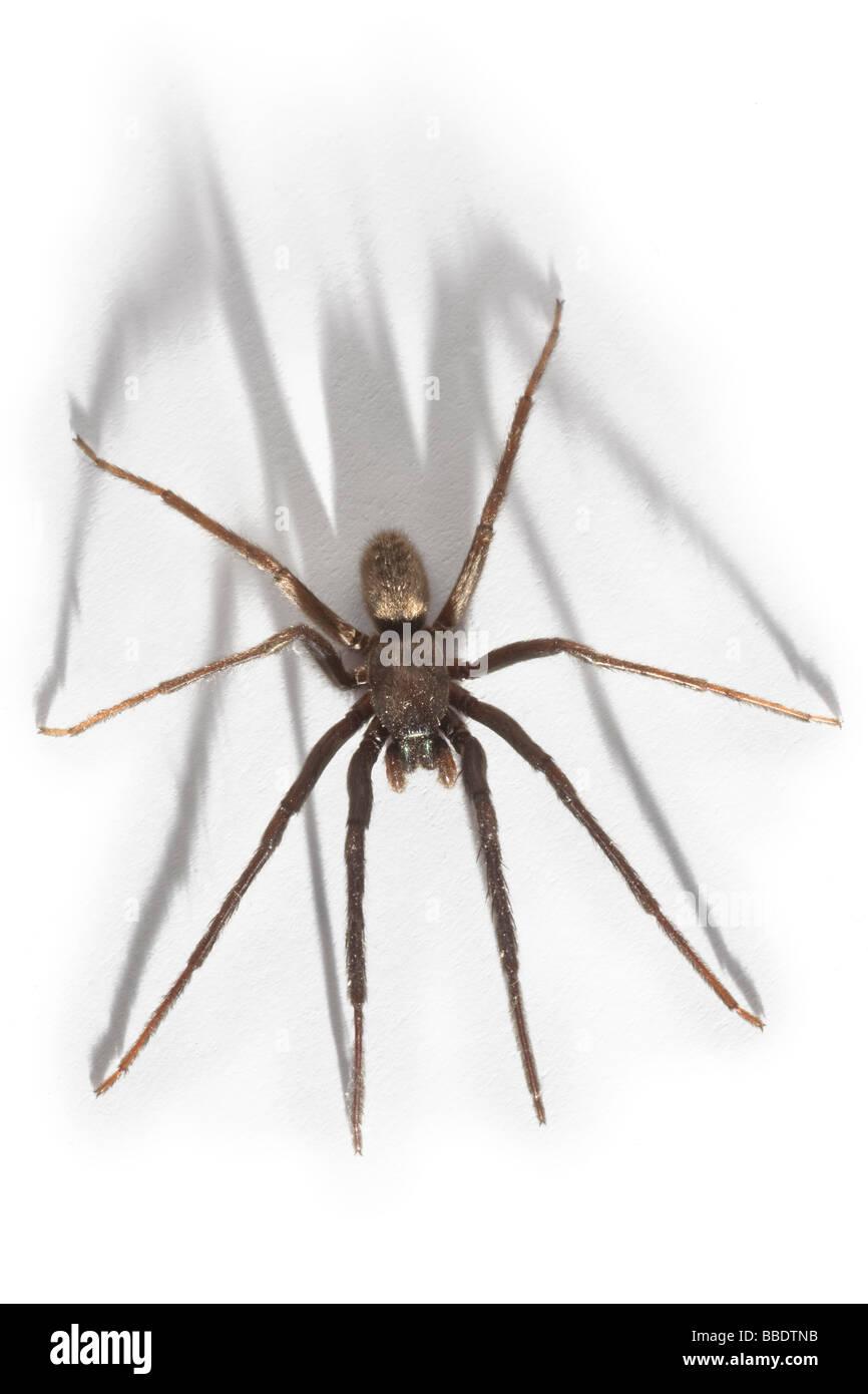 A House spider (Tegenaria gigantea), photographed in the studio. Tégénaire (Tegenaria gigantea), photographiée en Stock Photo