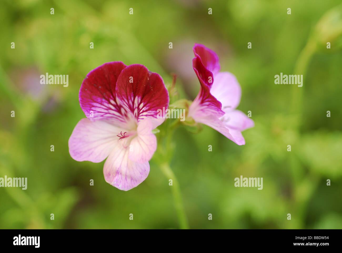 Pelargonium sp. 'Tip Top Duet', Geraniaceae - Stock Image