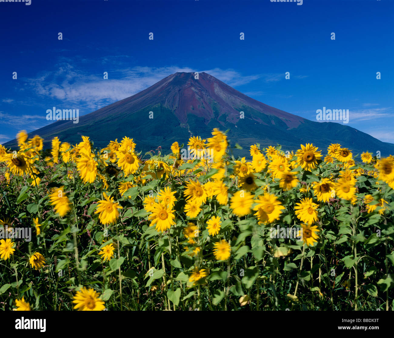 Mt.Fuji And Sunflower - Stock Image
