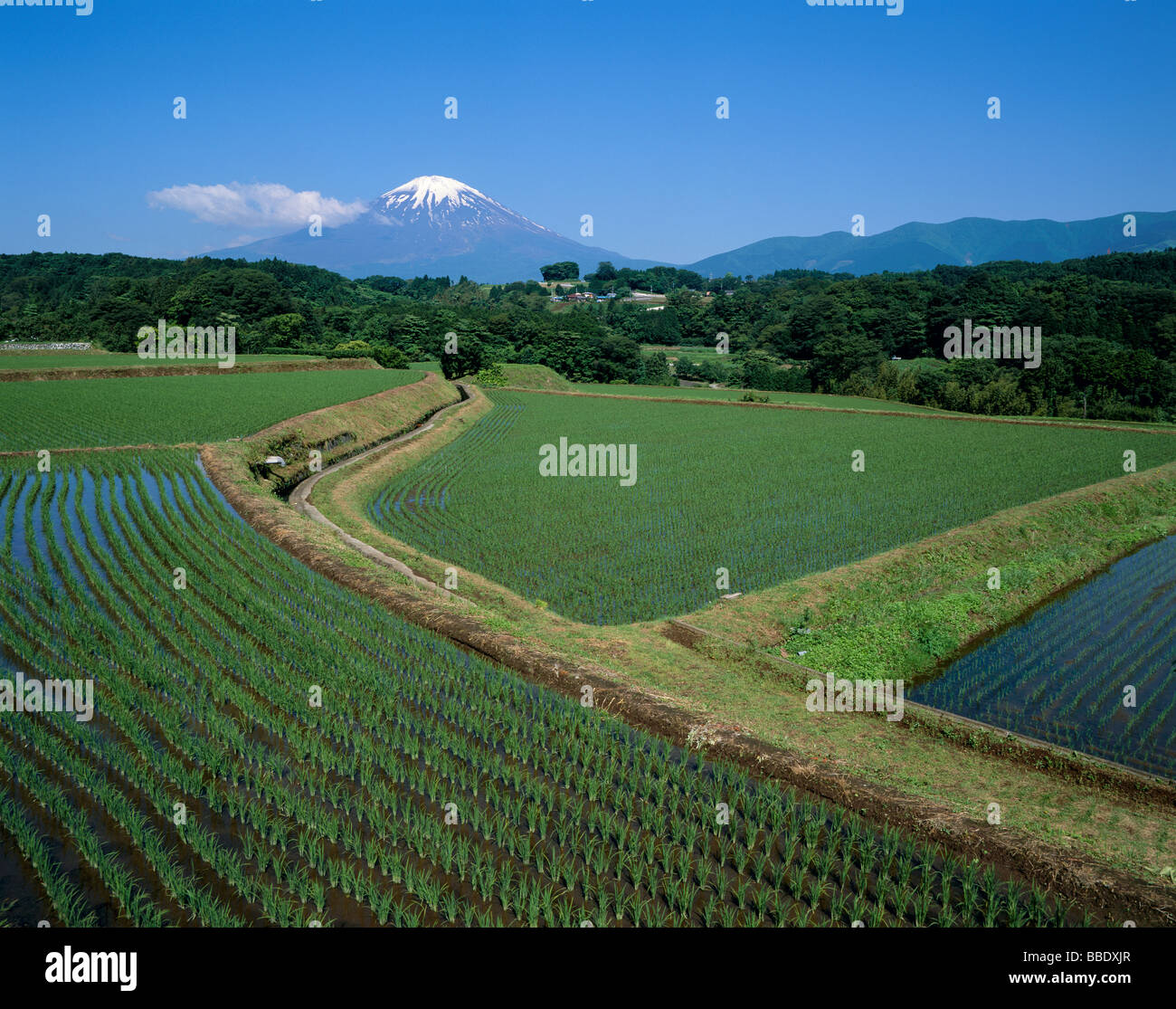 Mt.Fuji And Rice Field - Stock Image