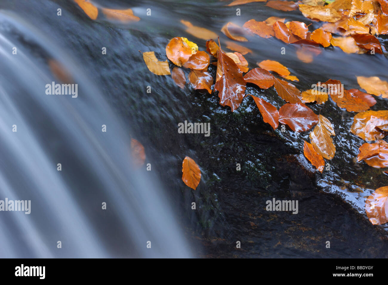 Close-Up of Autumn Leaves on Rock in Flowing Stream, Bavarian Forest National Park, Bavaria, Germany Stock Photo