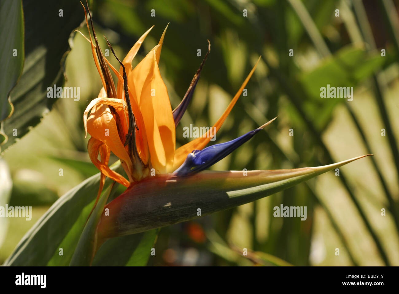 Bird of paradise flower (strelitzia reginae, strelitziaceae) - Stock Image