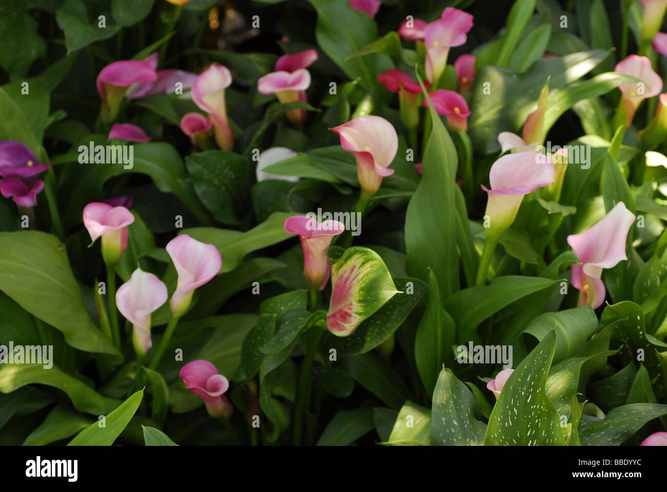 Zantedeschia aethiopica, calla, Araceae, South Africa - Stock Image