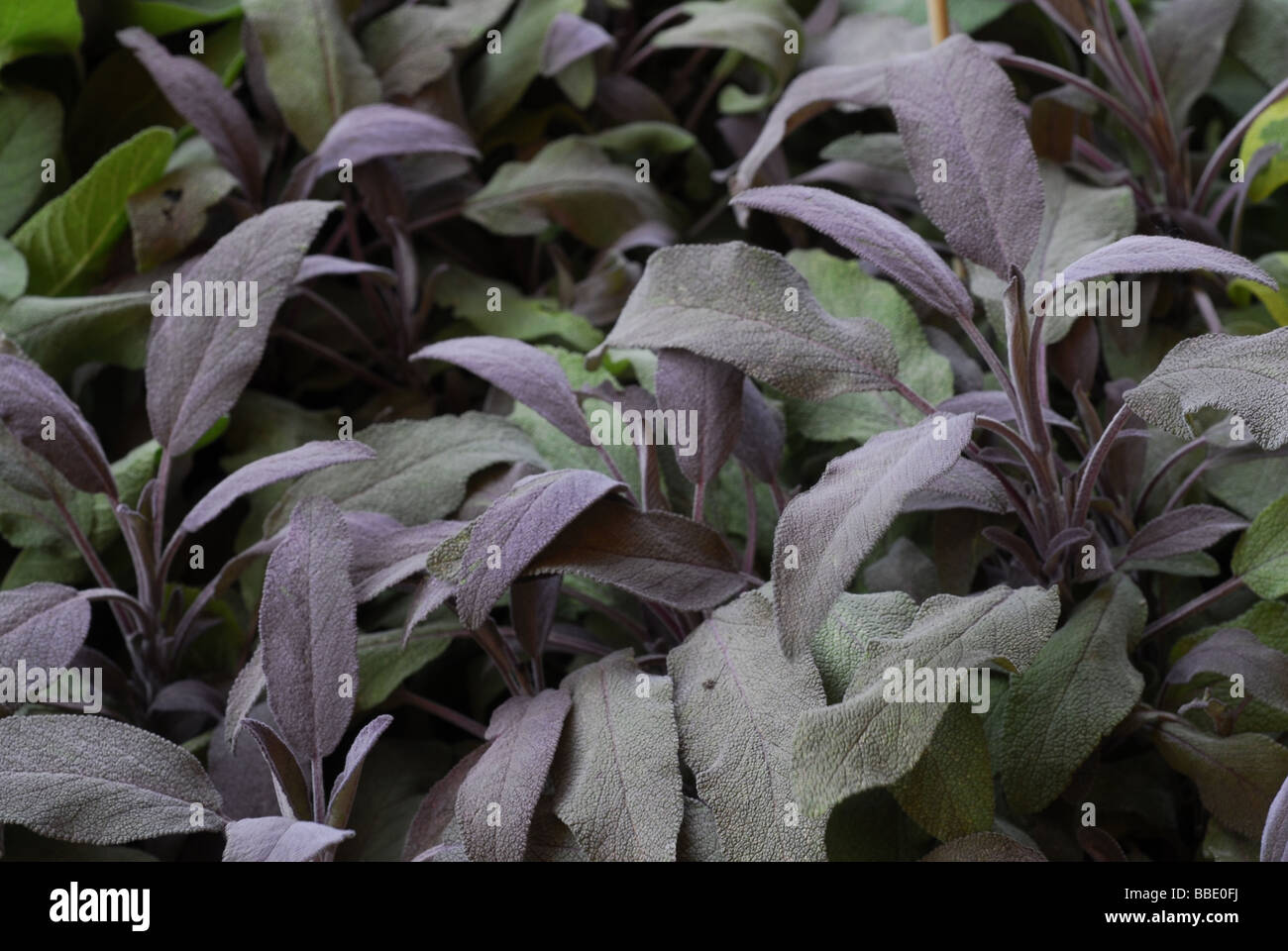 Salvia officinalis 'Purpurea', Lamiacee - Stock Image
