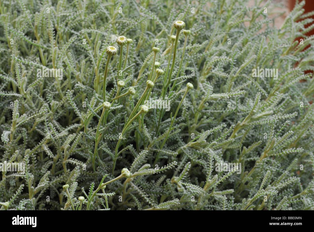 Santolina chamaecyparissus, Asteraceae - Stock Image