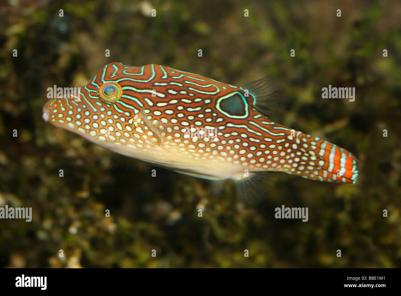Jewel Puffer Fish (a.k.a. Spotted Sharpnose, Blue Spotted Puffer, Ocellated Toby) Canthigaster solandri Stock Photo