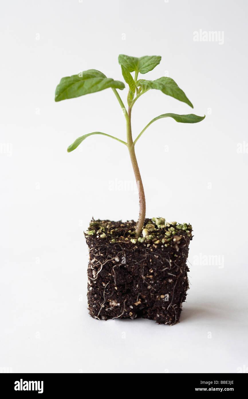 tomato seedling Stock Photo