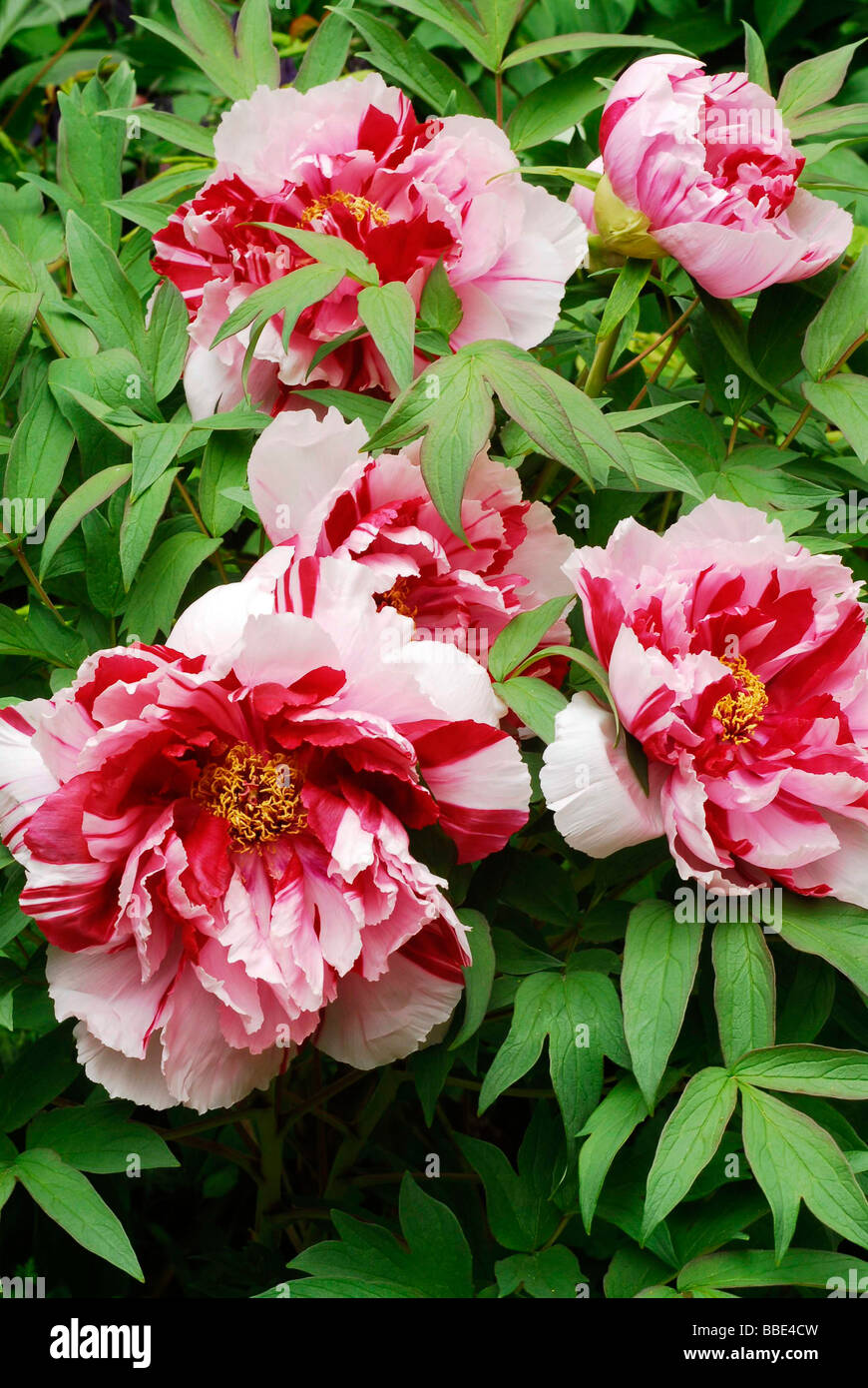 Pink red Peonies (Paeonia) Stock Photo