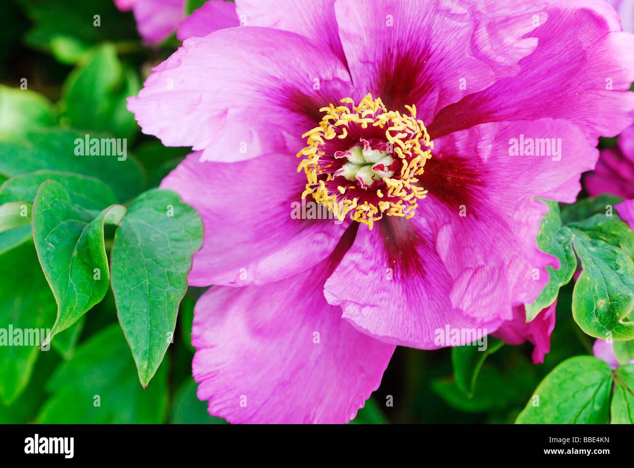 Purple Peony (Paeonia) Stock Photo