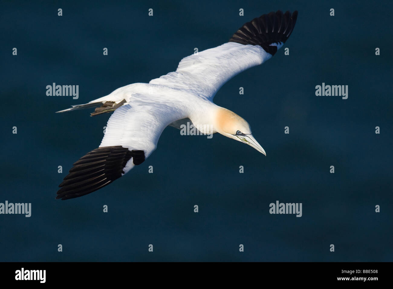 Adult Northern Gannet (Morus bassanus) in flight with the ocean in the background - Stock Image