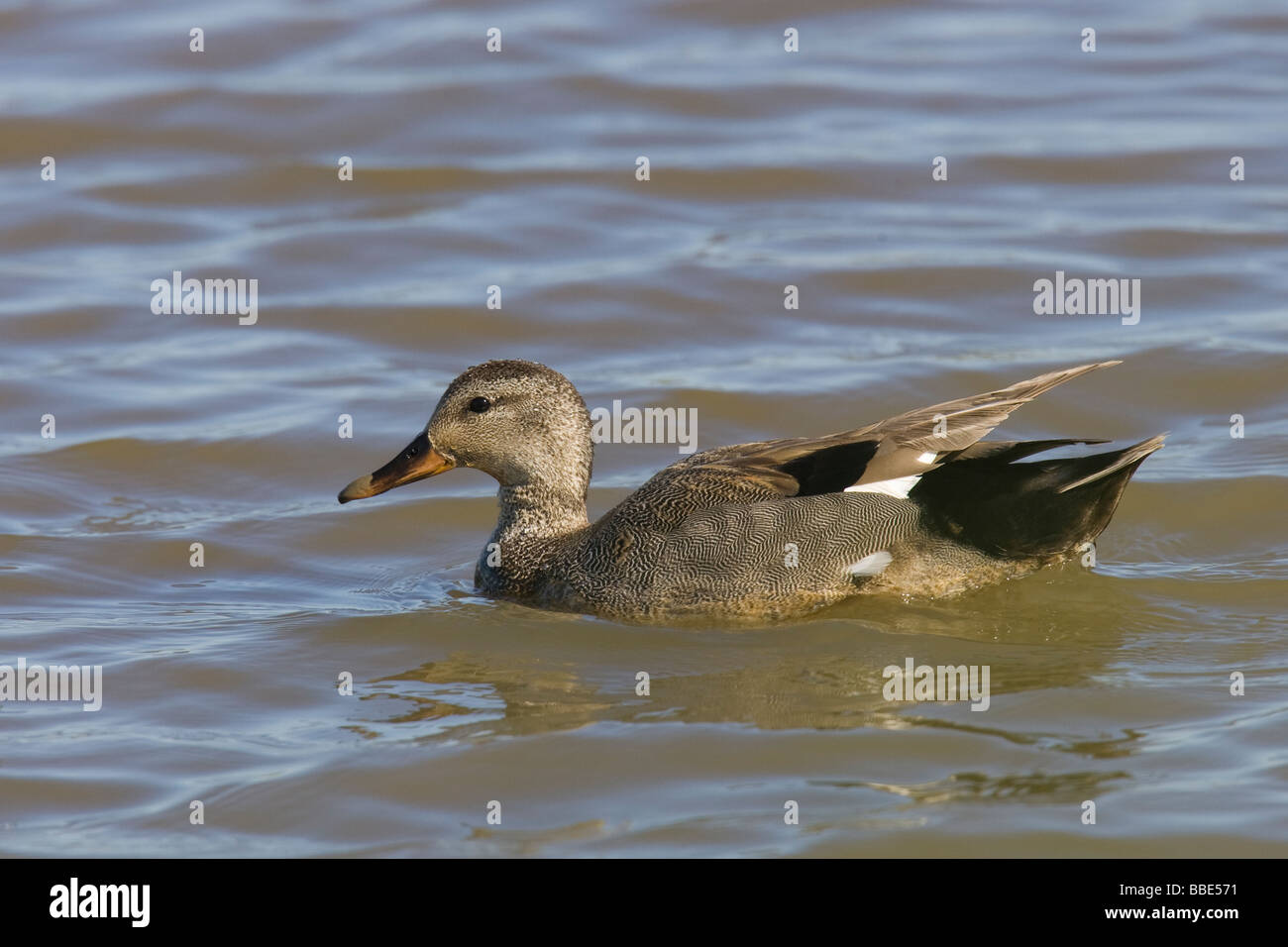 Male Gadwall (Anas strepera) swimming in a pond - Stock Image