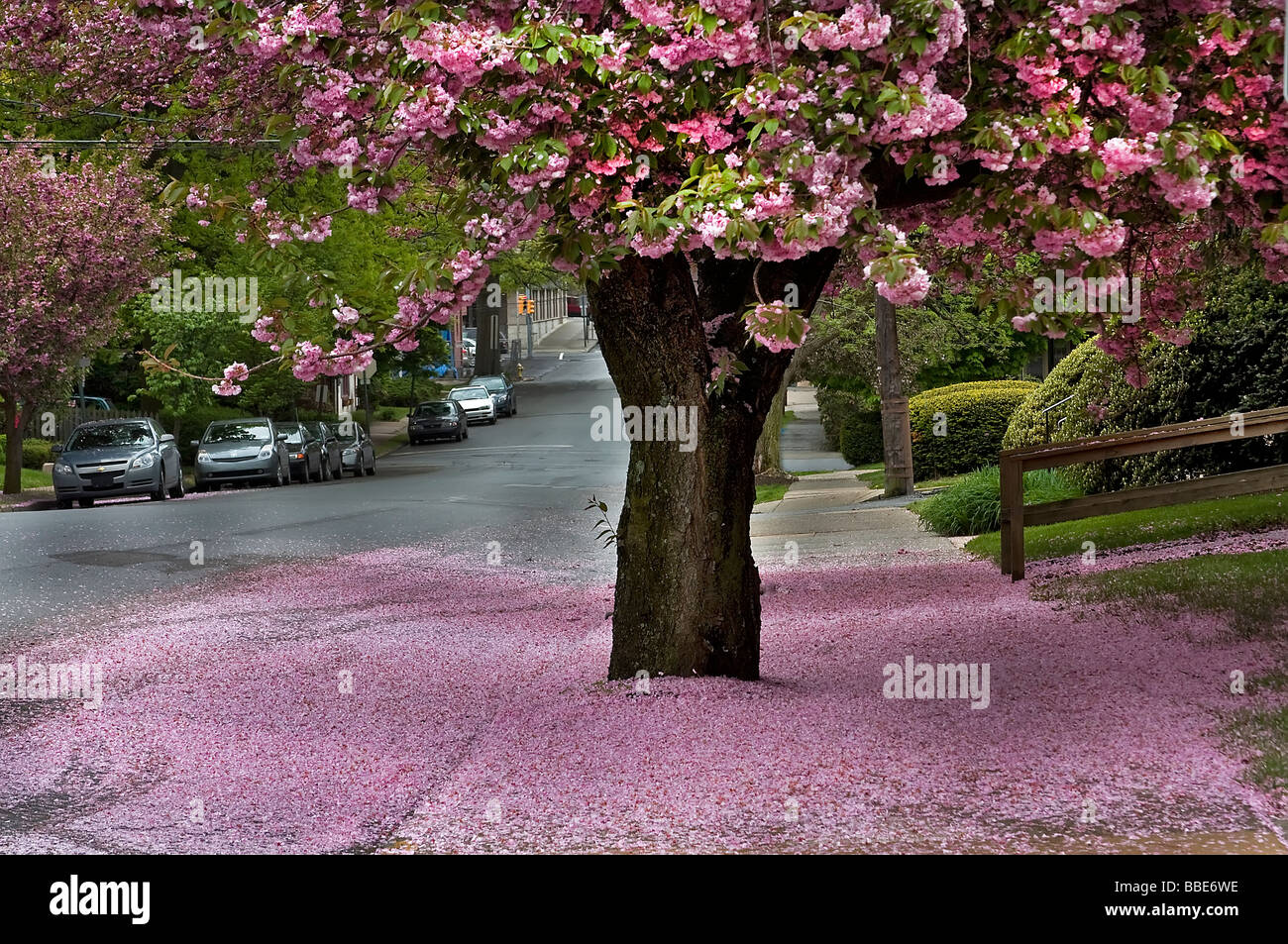 Cherry Blossom - Stock Image