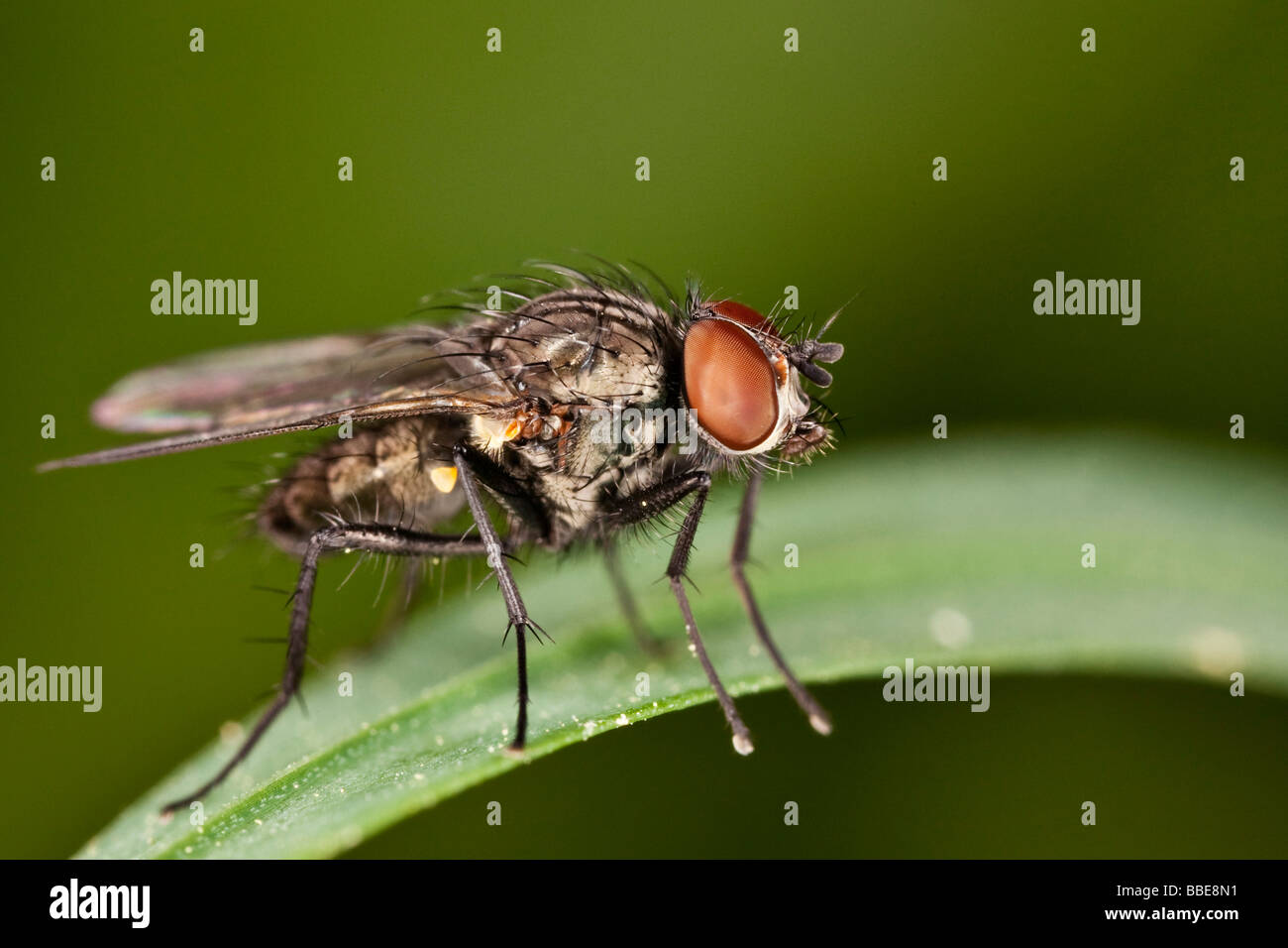 Common Housefly Fly Diptera Musca Stock Photos & Common Housefly Fly ...
