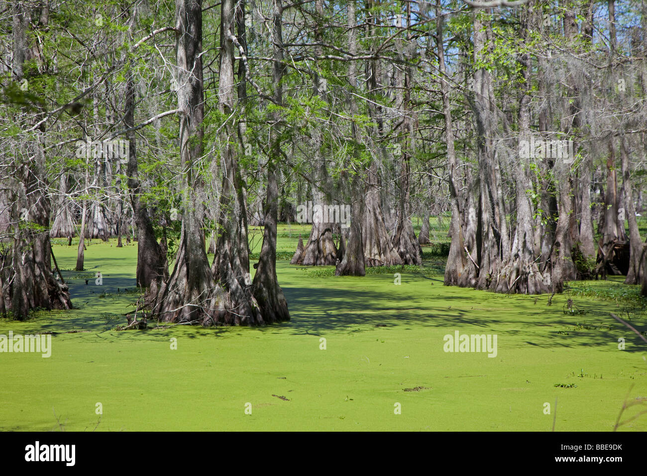 Breaux Bridge Louisiana The Cypress Island Preserve managed by the Nature Conservancy - Stock Image