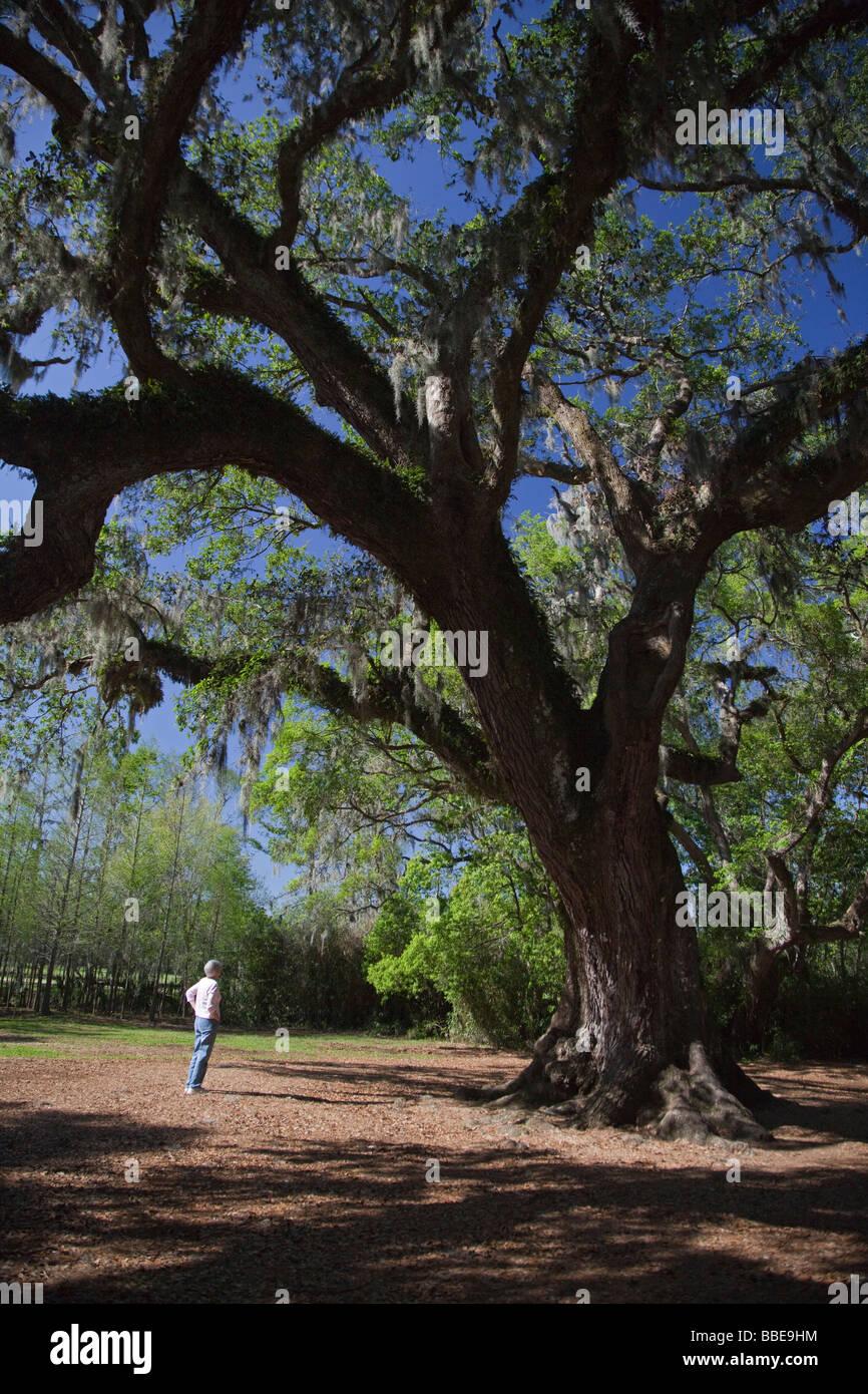 Avery Island Louisiana The Cleveland Oak at Jungle Gardens - Stock Image