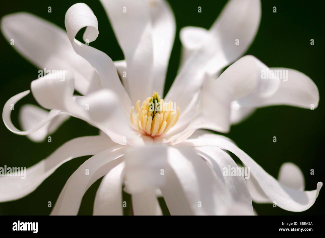 Star Magnolia (Magnolia stellata) Stock Photo