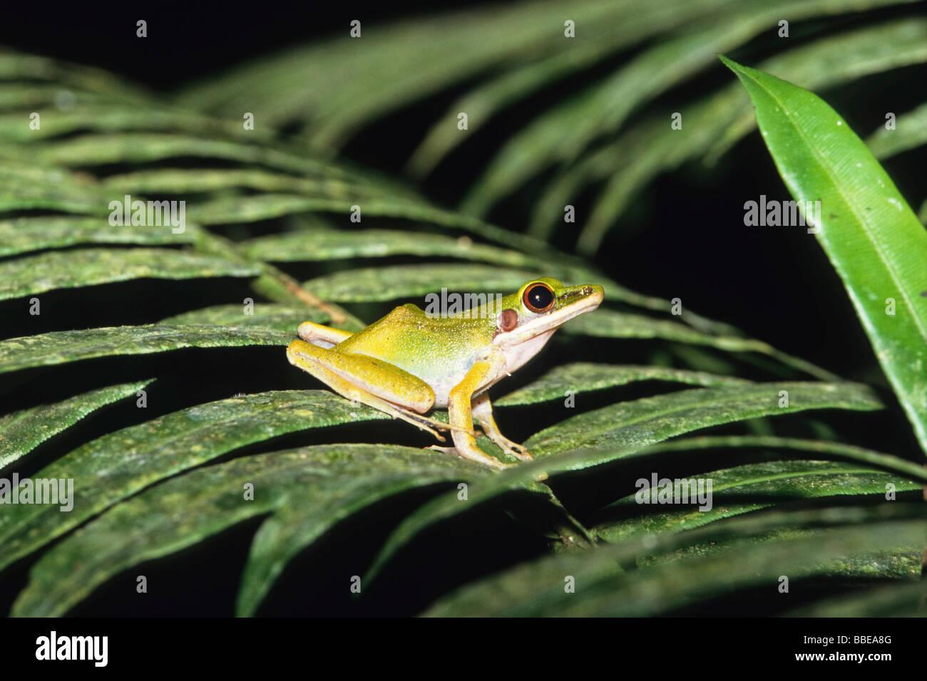 Frog in tropical rainforest, Gunung Leuser National Park, Sumatra, Indonesia, Asia - Stock Image