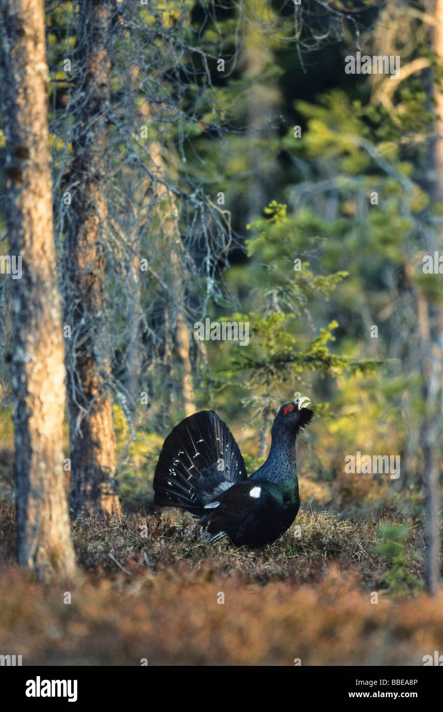 Capercaillie (Tetrao urogallus), Wood Grouse, Western Capercaillie, displaying courtship, Sweden, Europe Stock Photo