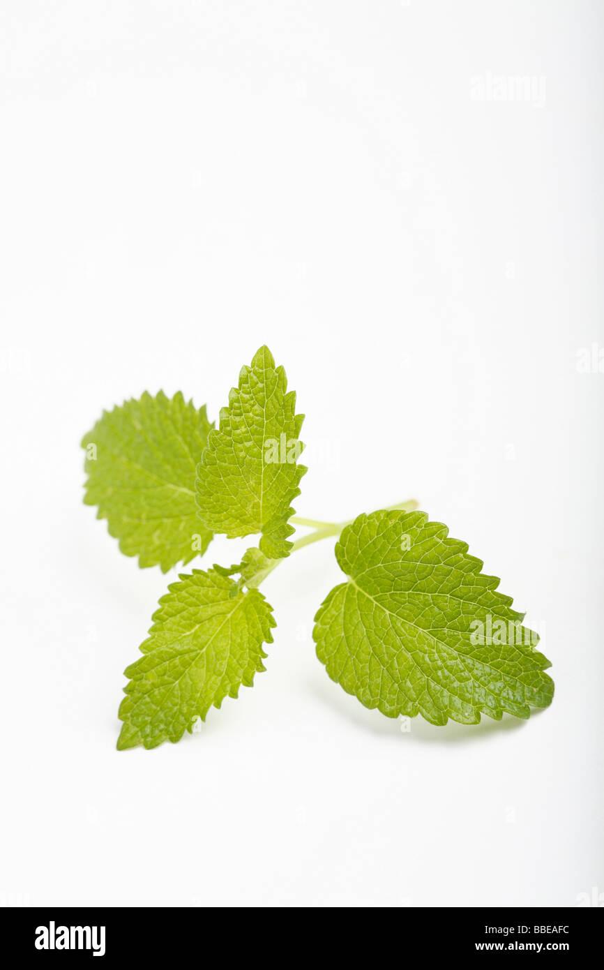 Lemon balm (Melissa officinalis) Stock Photo
