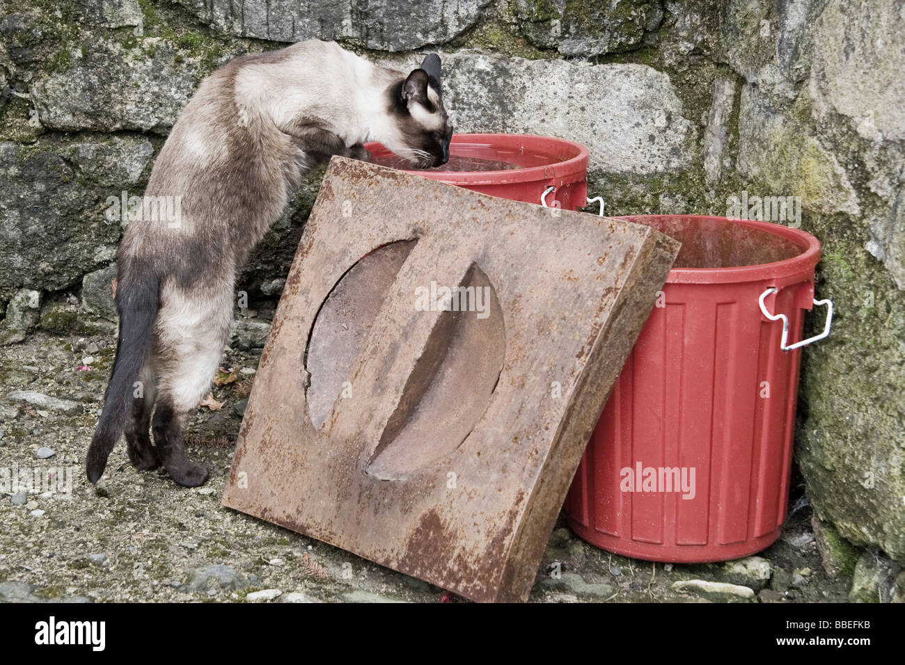 cat drinking water from trash cans - Stock Image