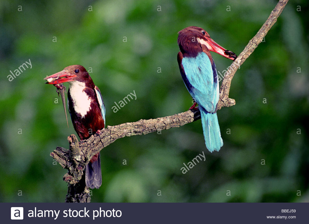 WHITE BREASTED KINGFISHERS IN PEPPARA WILDLIFE SANCTUARY - Stock Image