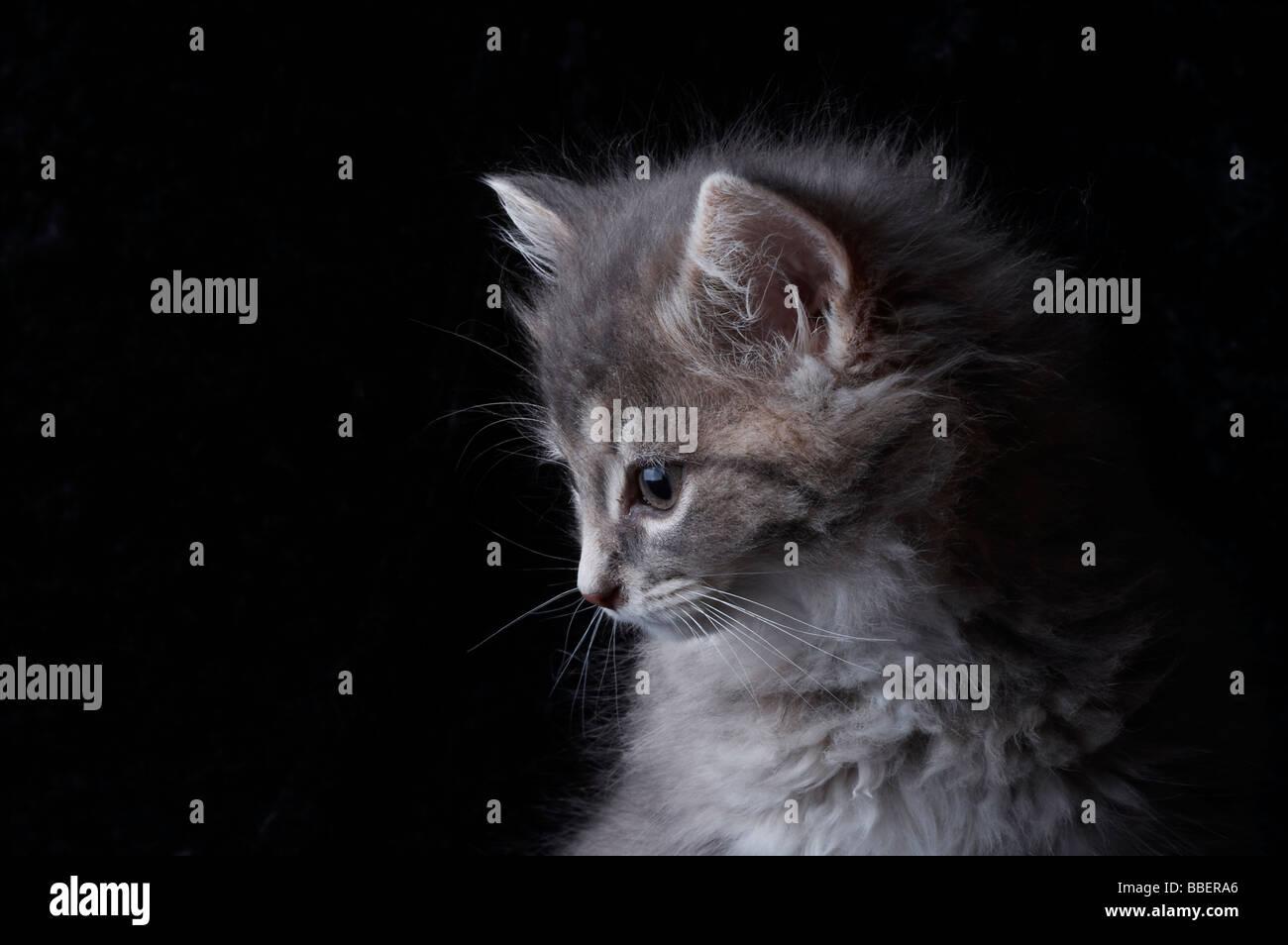 Fluffy grey kitten on black background - Stock Image