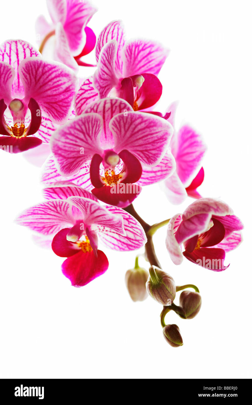 Phalaenopsis, commonly known as Moth Orchid - Stock Image