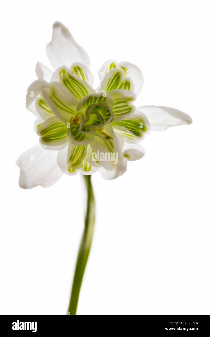 Galanthus - Snowdrop - Stock Image