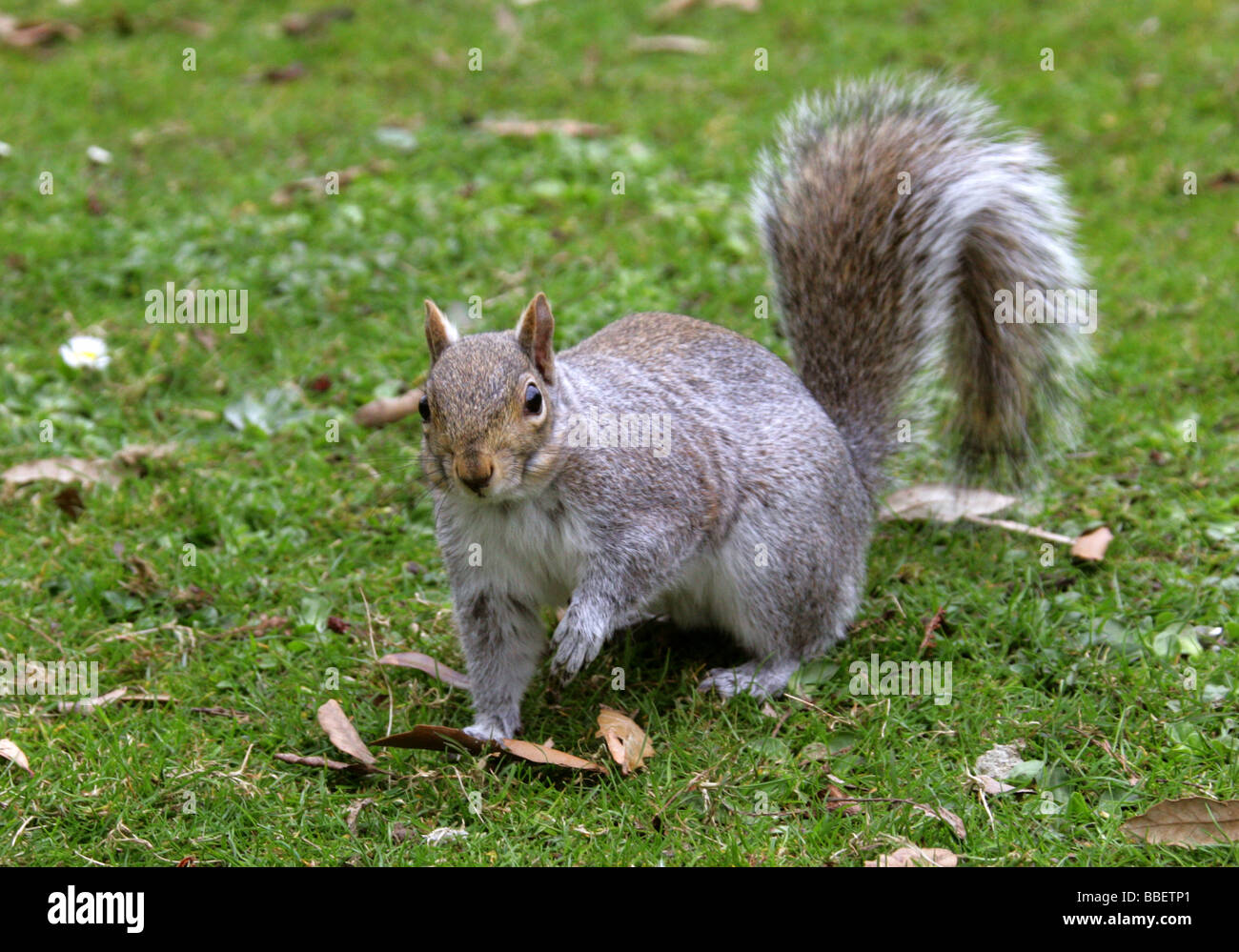 Grey Squirrel, Sciurus carolinensis, Sciuridae - Stock Image