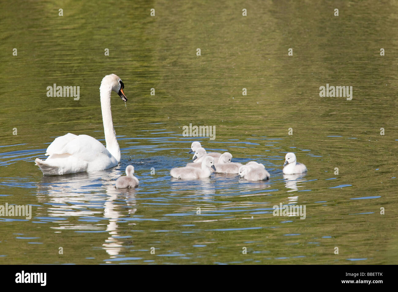 Swan family Pen with cygnets Stock Photo