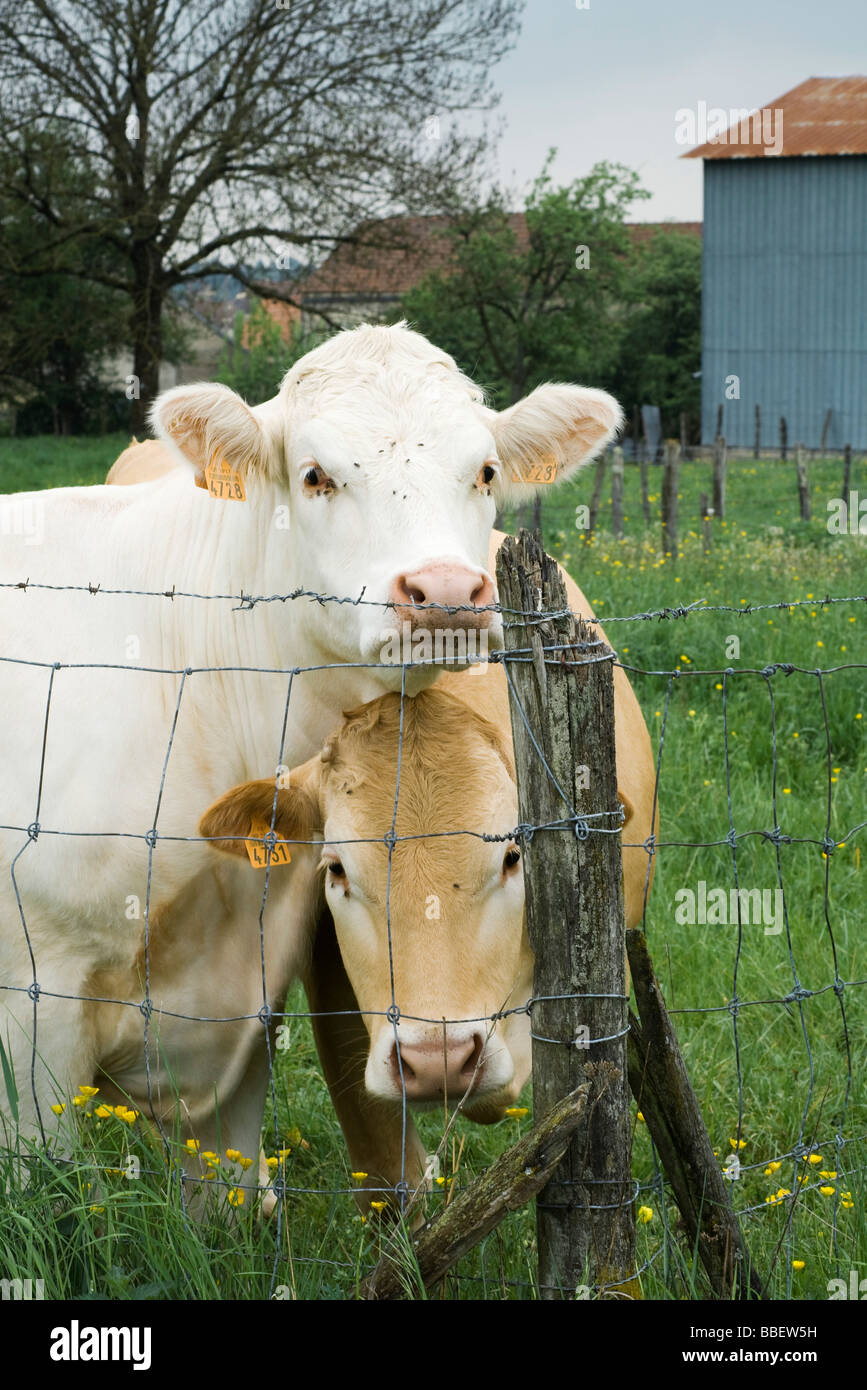 Cows standing beside wire fence, looking at camera - Stock Image
