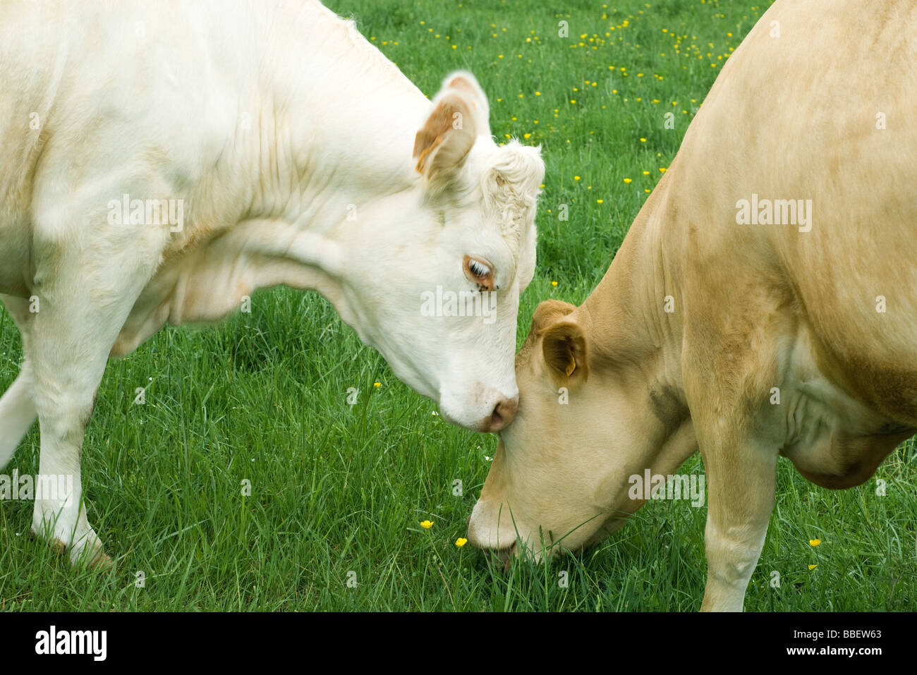 Two cows grazing in pasture, one nuzzling the other - Stock Image