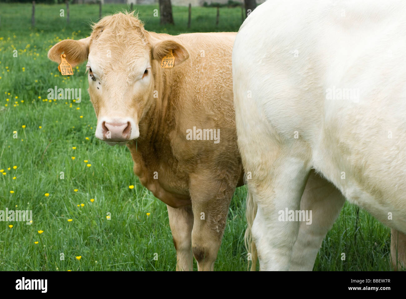 Brown cow in pasture with white cow, looking at camera - Stock Image