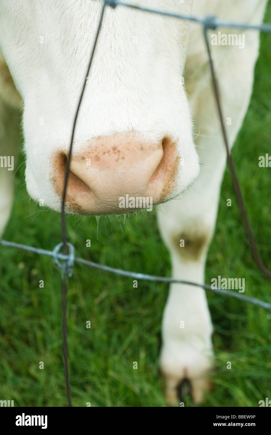 Cow sniffing bared wire, cropped Stock Photo